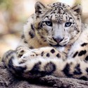 On the Conservation of Snow Leopards